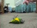 Parrot's Playing Dead
