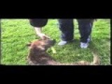 Pitbull Cross Boxer Pup Playing Brother And Sister