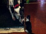 Pit Bull Vs Kitty