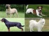 Popular Dog Breeds And Their Barking Or Sounds