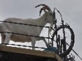 Put A Goat At The Wheel - That's Getting It Done ! !