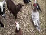 Plucky Ducks Stand Up To Bully Goat