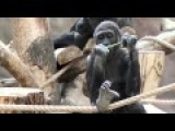 Prague Zoo's Shinda The Gorilla Gives Birth To Adorable Baby
