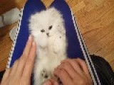 Playful Persian Kitten Loves Their Tickles