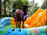 Peppa Lass The Goat Hits The Pool For Memorial Weekend