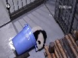 Panda Cub Finds Himself The Perfect Hiding Place