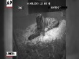 Raw: Baby Tiger Born At London Zoo