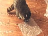 Raccoon Popping Bubble Wrap