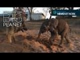 Rescued Baby Elephant Beats The Odds With The Help Of His Canine Companion