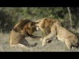 Real Battle. Lion Vs Lion Fight To Dead