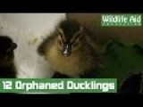 Road Traffic Accident Survivors Ducklings Returned To The Wild!