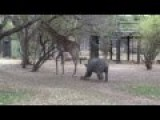 Rhino VS Giraffe - Knock Out Enemy With A Kick