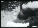 Russian Wolfhound-borzoi Killing Wolf
