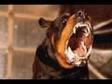 Rottweiler Vs Pitbull Fight To Death
