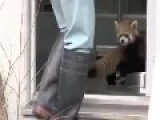 Red Panda Scared Silly By Zookeeper