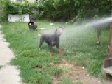 Rottweiler Puppy Loves Water On A Hot Day
