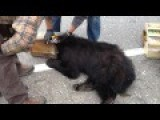 Rescued - Black Bear With Head Stuck In Coffee Can