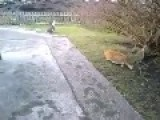 Rival Cat Saves Duck