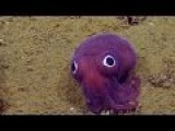 Rub Its Head - Scientists Locate A 'Googly-Eyed' Stubby Squid
