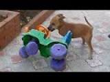 Small Dog Hates Toy Car