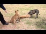 Sneaking Lion Cub Gives Dog Fright Part 2: Lions And Dog