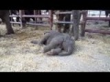 Sleepy Baby Elephant