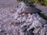 Sea Turtle Flips Over And Gets Saved