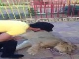 SAUDI MUSLIMS BEATING A LION