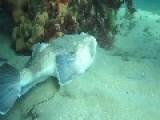 Stargazer Fish Buries Itself In Sand