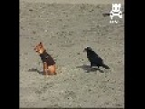 Sneaky Crow Nips At Dog's Tail