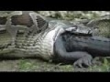 Snake Eats Crocodile | Animal Attacks