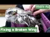 Surgery Gives Hope For Broken Wing Buzzard!