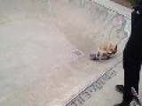 Skateboarding French Bulldog Puppy Enjoys Skate Bowl