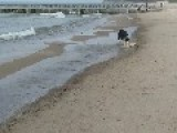 Skillful Collie Tries Out Surfing