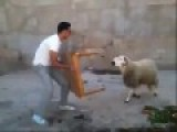 Sheep Is Not Happy At The Man And The Table ..... Smashes Table