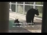Some Bears Go For A Dip In Someone's Pool