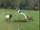 Some Goats Having Fun