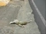 Sloth Crossing The Road Like A Boss