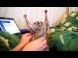Slow Loris Tickle Sonya The Tickle Lover