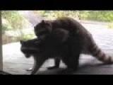 Surprise, It's Raccoon Love