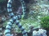 Sea Snake Eats A Moray Eel