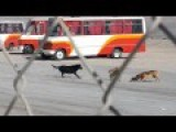 Spanish Stray Dogs Gang Up On Cat