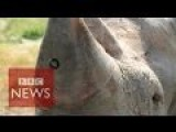 Scientists Put A Camera Into Rhino Horns To Stop Poaching