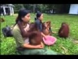 SHOCKING CRUELTY: Orangutan Prostitutes In Borneo