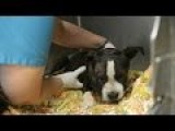 Saving Jax - Dog Used As Bait In Dog Fighting