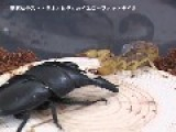 Sumatra Stag Beetle VS Yellow Fat Tail Scorpion