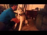 Siberian Husky Dog Eats Marijuana Part 1