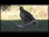 Snake Vs Eagle - Snake Defead By Eagle