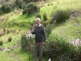 Superb Sheep Herding Demonstration Using Border Collies