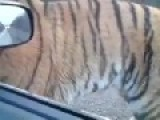 Siberian Tiger Own The Streets In Russia